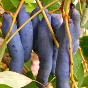 Blaugurkenstrauch Frucht blau Decaisnea fargesii 01