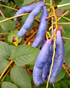 Blaugurkenstrauch Frucht blau Decaisnea fargesii 03