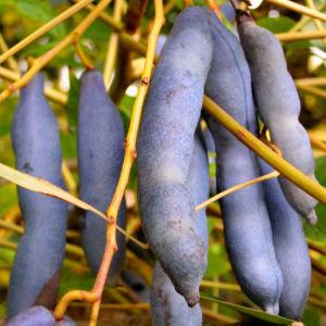 Blaugurkenstrauch Frucht blau Decaisnea fargesii 04