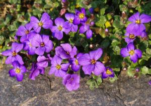 Blaukissen blue Emperor Bluete violett Aubrieta hybride 02