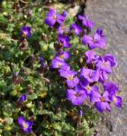 Blaukissen blue Emperor Bluete violett Aubrieta hybride 03