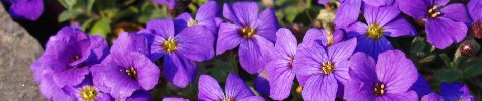 blaukissen-emperor-bluete-violett-aubrieta-hybride