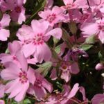 Blaukissen lila Aubrieta hybride 01