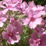 Blaukissen lila Aubrieta hybride 03