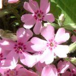Bild: Blaukissen Blüte rose Aubrieta hybride