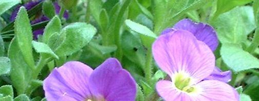 Anklicken um das ganze Bild zu sehen Blaukissen Blüte pink Aubrieta hybride