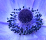 Blaumohn Bluete blau Papaver somniferum 05