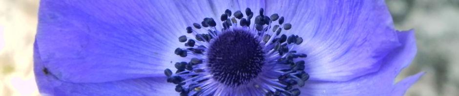 Anklicken um das ganze Bild zu sehen Blaumohn Blüte blau Papaver somniferum