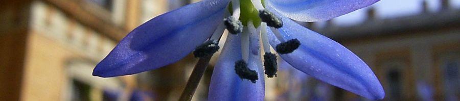 Anklicken um das ganze Bild zu sehen Sibirischer Blaustern Blüte blau Scilla siberica