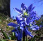 Blaustern Scilla siberica 04