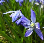 Blaustern Scilla siberica 05