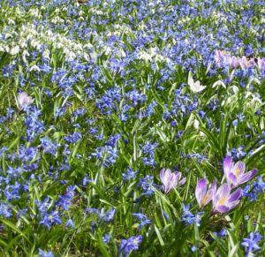 Blaustern Scilla siberica 07