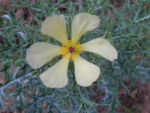 Bleicher Stachelmohn Bluete blass gelb Argemone ochroleuca 13