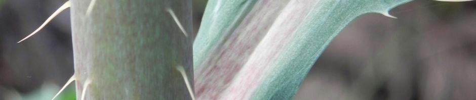 bleicher-stachelmohn-bluete-blass-gelb-argemone-ochroleuca