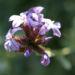 Zurück zum kompletten Bilderset Bleiwurz Blüte hell blau - Plumbago europaea