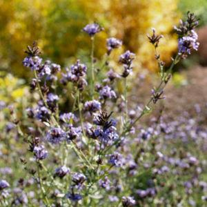 Bleiwurz Bluete hell blau Plumbago europaea 06