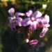 Zurück zum kompletten Bilderset Bleiwurz Blüte hell pink - Plumbago europaea