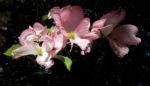 Blumen Hartriegel Bluete pink Cornus florida 01
