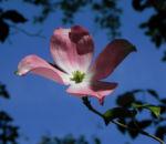 Blumen Hartriegel Bluete pink Cornus florida 04