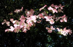 Blumen Hartriegel Bluete pink Cornus florida 06