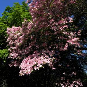 Blumen Hartriegel Bluete pink Cornus florida 07