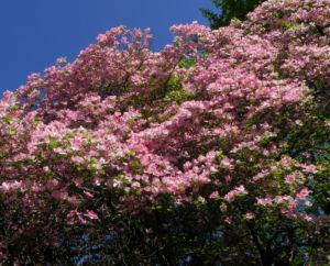 Blumen Hartriegel Bluete pink Cornus florida 08