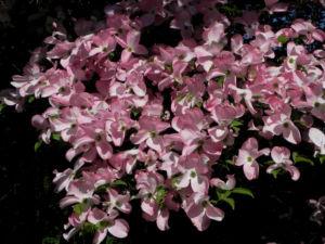 Blumen Hartriegel Bluete pink Cornus florida 09