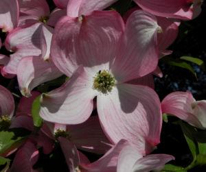 Blumen Hartriegel Bluete pink Cornus florida 10