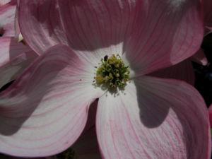 Blumen Hartriegel Bluete pink Cornus florida 11