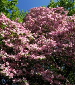 Blumen Hartriegel Bluete pink Cornus florida 12