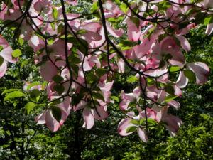 Blumen Hartriegel Bluete pink Cornus florida 14