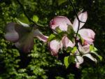 Blumen Hartriegel Bluete pink Cornus florida 16