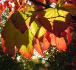 Bild: Blüten-Hartriegel Strauch Blatt rot Cornus florida