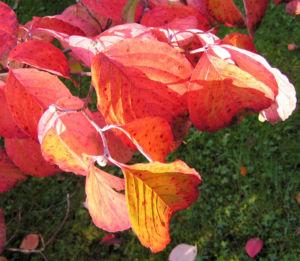 Blumen Hartriegel Strauch Herbst Blatt rot Cornus florida 04