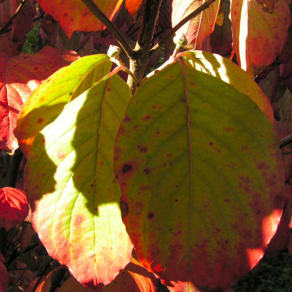 Blumen Hartriegel Strauch Herbst Blatt rot Cornus florida