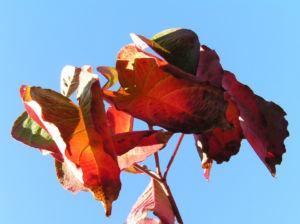 Blumen Hartriegel Strauch Herbst Blatt rot Cornus florida 06