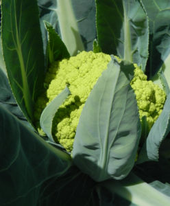 Blumenkohl gruen Brassica oleracea 28