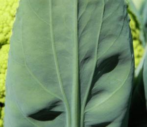 Blumenkohl gruen Brassica oleracea 30