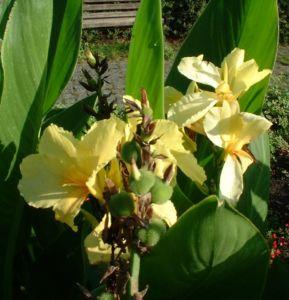 Blumenrohr Canna indica 01