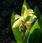 Blumenrohr Canna indica 02