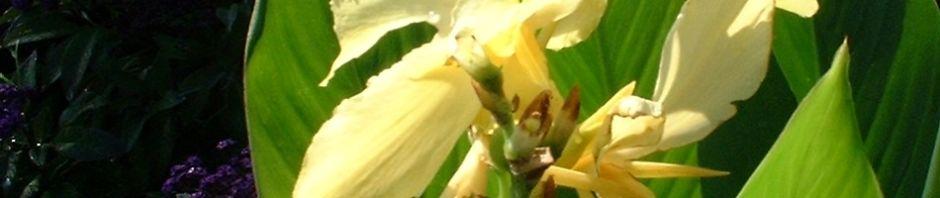 Anklicken um das ganze Bild zu sehen Blumenrohr - Canna indica