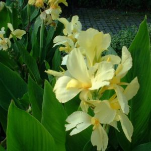 Bild: Blumenrohr Canna indica
