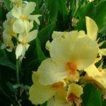 Blumenrohr Canna indica 04
