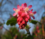Blut-Johannisbeere-Bluete-rot-Ribes-sanguineum02