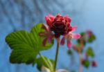 Blut-Johannisbeere-Bluete-rot-Ribes-sanguineum03