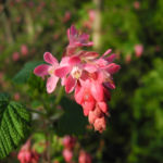 Blut-Johannisbeere-Bluete-rot-Ribes-sanguineum06