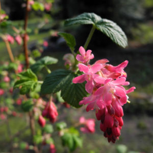 Blut-Johannisbeere-Bluete-rot-Ribes-sanguineum09
