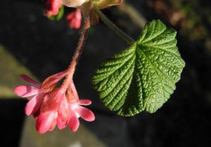 Blut-Johannisbeere-Bluete-rot-Ribes-sanguineum15
