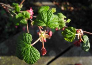 Blut-Johannisbeere-Bluete-rot-Ribes-sanguineum17