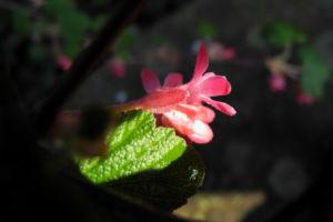Blut-Johannisbeere-Bluete-rot-Ribes-sanguineum20